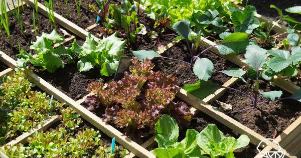 Овощи на балконе: какие посадить, можно ли вырастить урожай