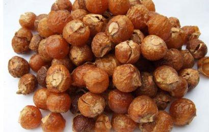 Польза и вред мыльных орехов Мукоросси