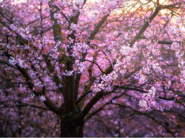 Цветущая вишня, как оберег на замужество