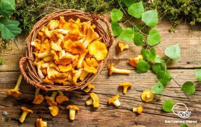 Польза и вред грибов лисичек