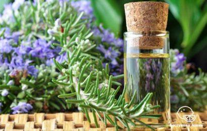 Польза и вред эфирного масла розмарина