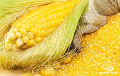 Польза и вред кукурузных отрубей