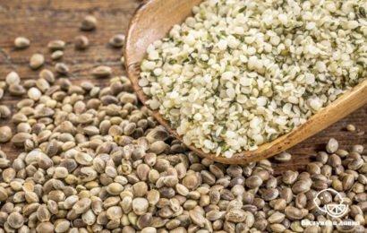 Польза и вред конопляных семян