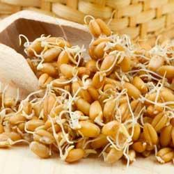 Пророщенные семена пшеницы