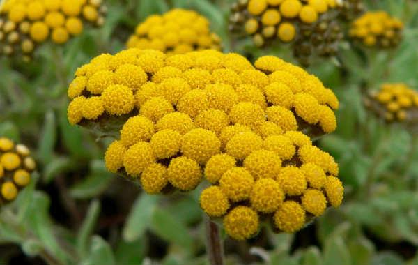 Лечебные свойства и противопоказания травы бессмертник. Инструкция по применению
