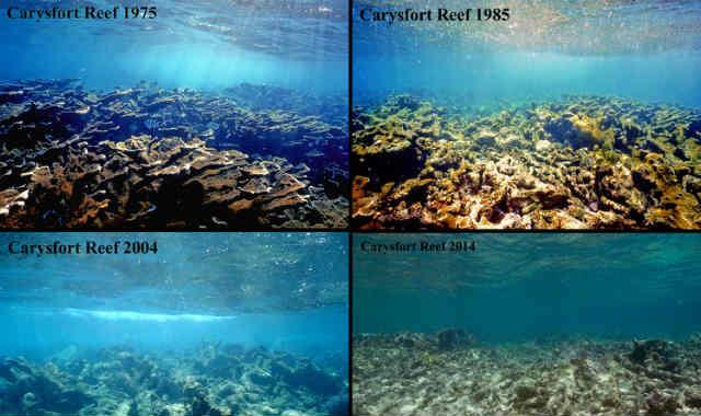 Carysfort Reef, Флорида-Кис: гибель караллов