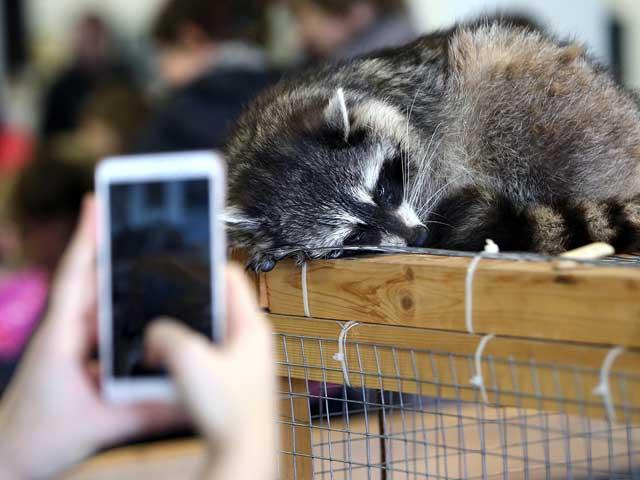 Енот страдает в контактном зоопарке