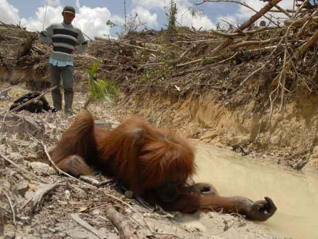 Пальмовое масло вредит и ухудшает экологию