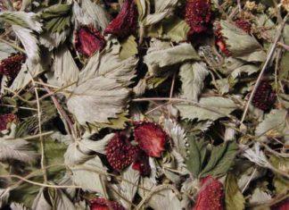Польза и вред чая из листьев земляники