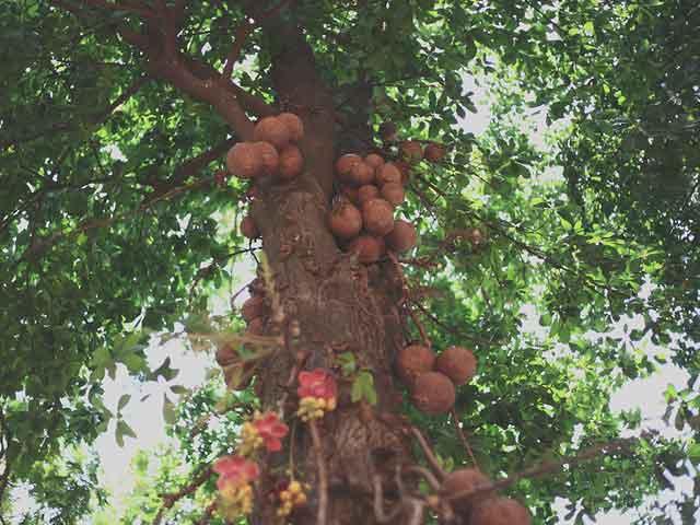 Где растет бразильский орех