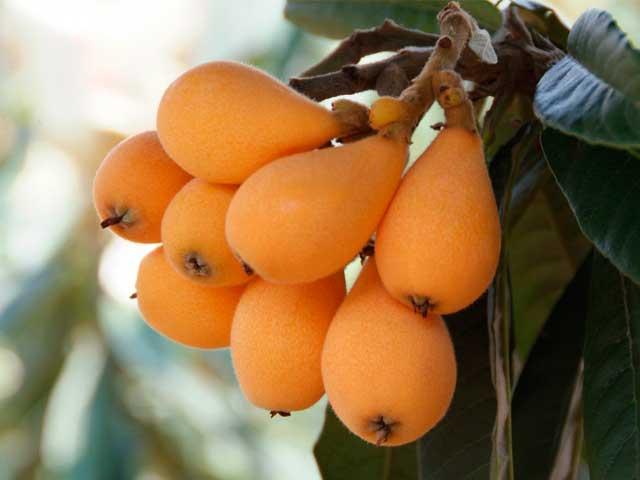 Мушмула: польза и вред для организма