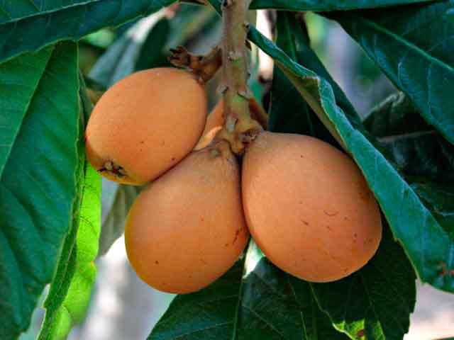 Мушмула: польза и вред для организма. Что это за фрукт?