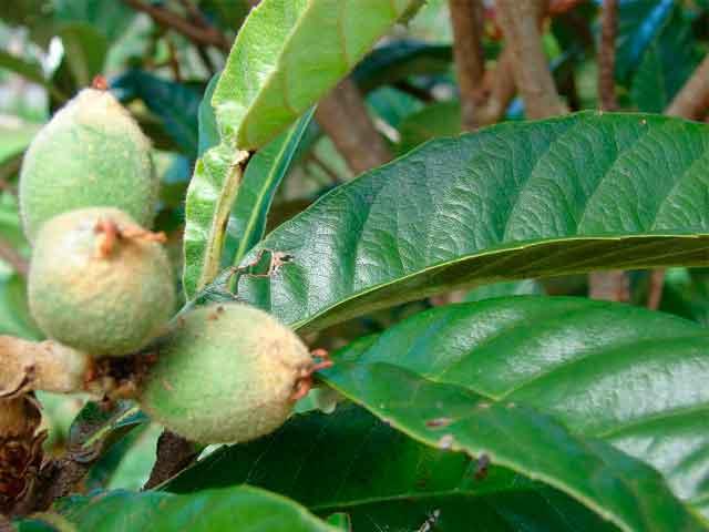 Польза листьев мушмулы для организма