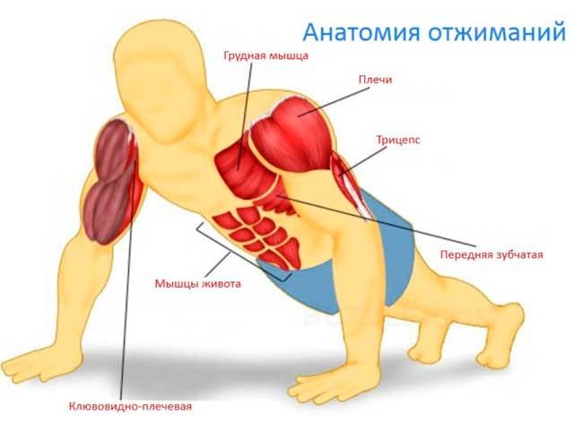 Анатомия отжиманий. Что будет, если отжиматься 100 раз каждый день