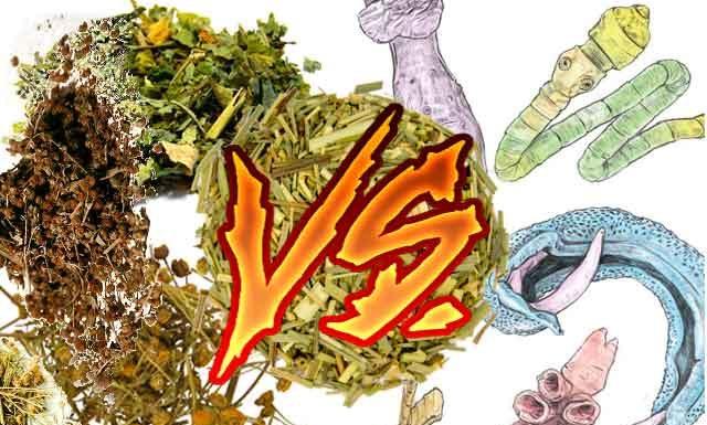 Травы от паразитов в организме человека: показания, противопоказания, профилактика
