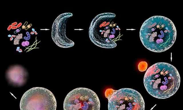 Японский ученый Ёсинори Осуми объяснил как работает Аутофагия