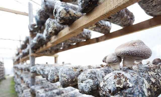 Полезные свойства и противопоказания грибов шиитаке