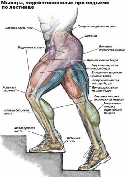 Какие мышцы работают при ходьбе по лестнице