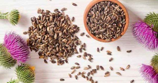 Расторопша для печени: полезные свойства и воздействие на организм, показания и противопоказания к использованию, правила приготовления лекарства