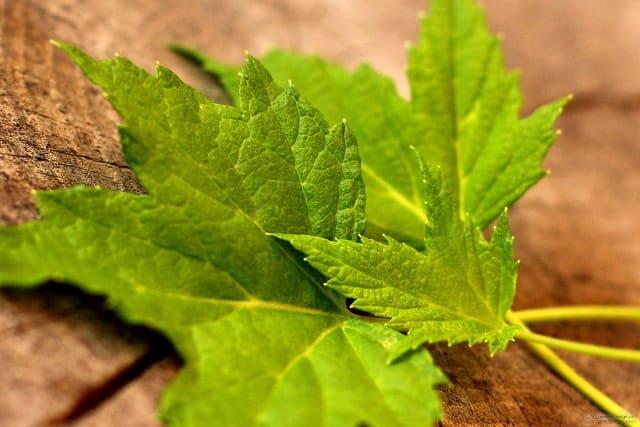 Польза и вред смородиновых листьев