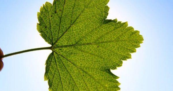 Листья смородины польза и вред для организма женщин и мужчин