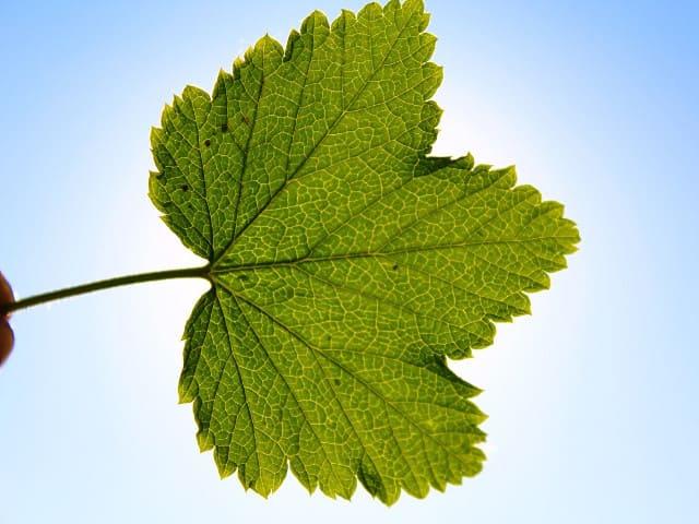 Смородиновые листья: польза и вред для организма
