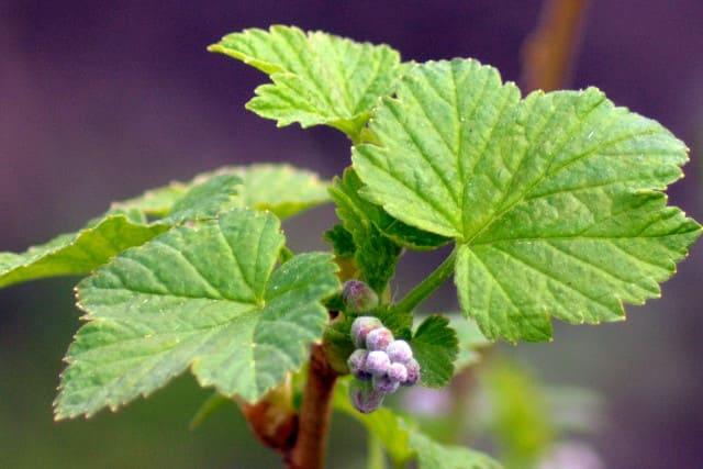 Польза смородиновых листьев для организма человека