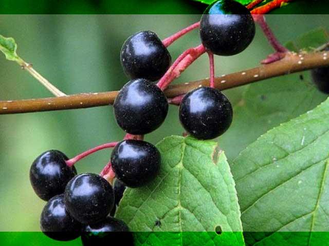 Плоды черемухи: полезные свойства и противопоказания, как приготовить отвар