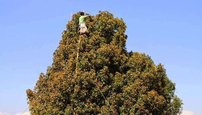 Гвоздичное дерево: фото