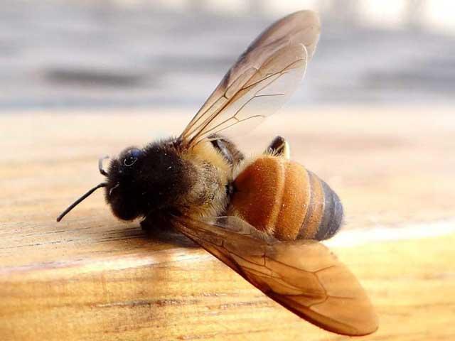 Почему массово умирают пчелы? Печальная статистика