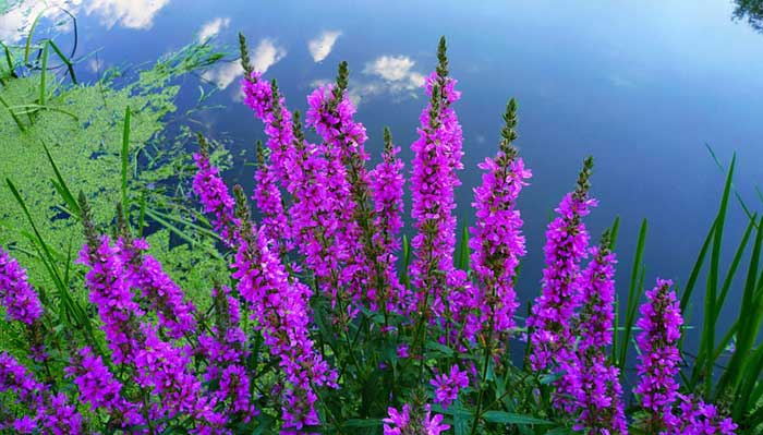 Плакун-трава древних славян