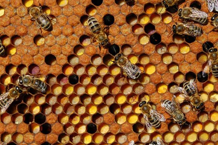 Полезные свойства и противопоказания пчелиной перги, как принимать