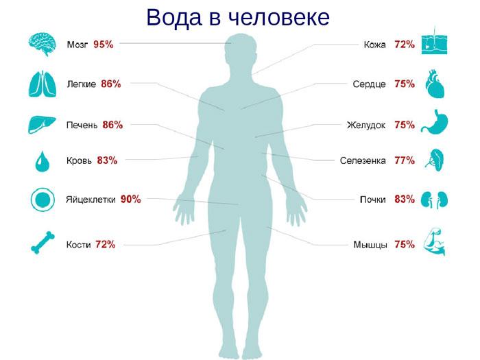 На сколько процентов состоит человек из воды